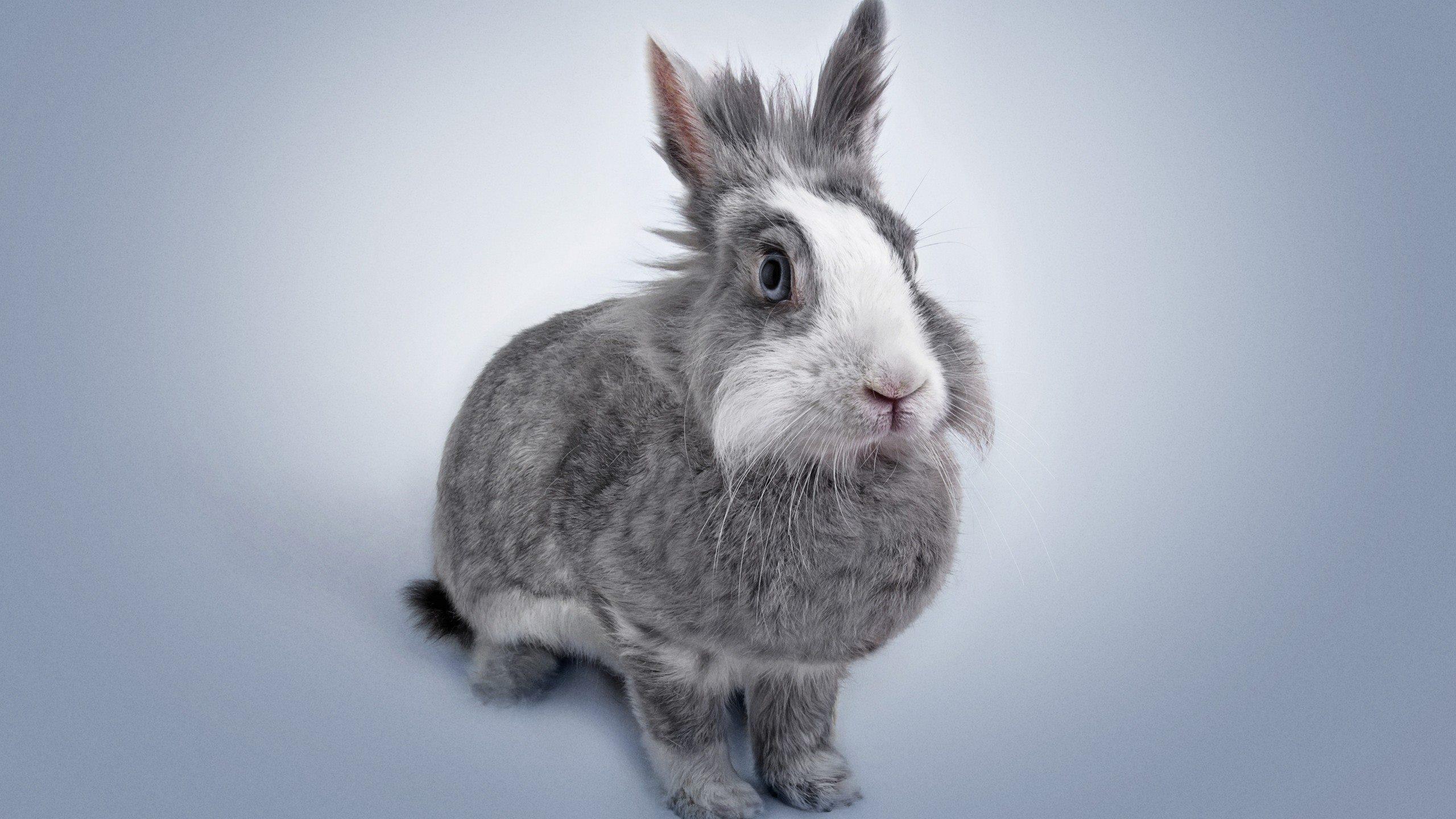 萌宠动物,卖萌图,兔子,灰兔,可爱