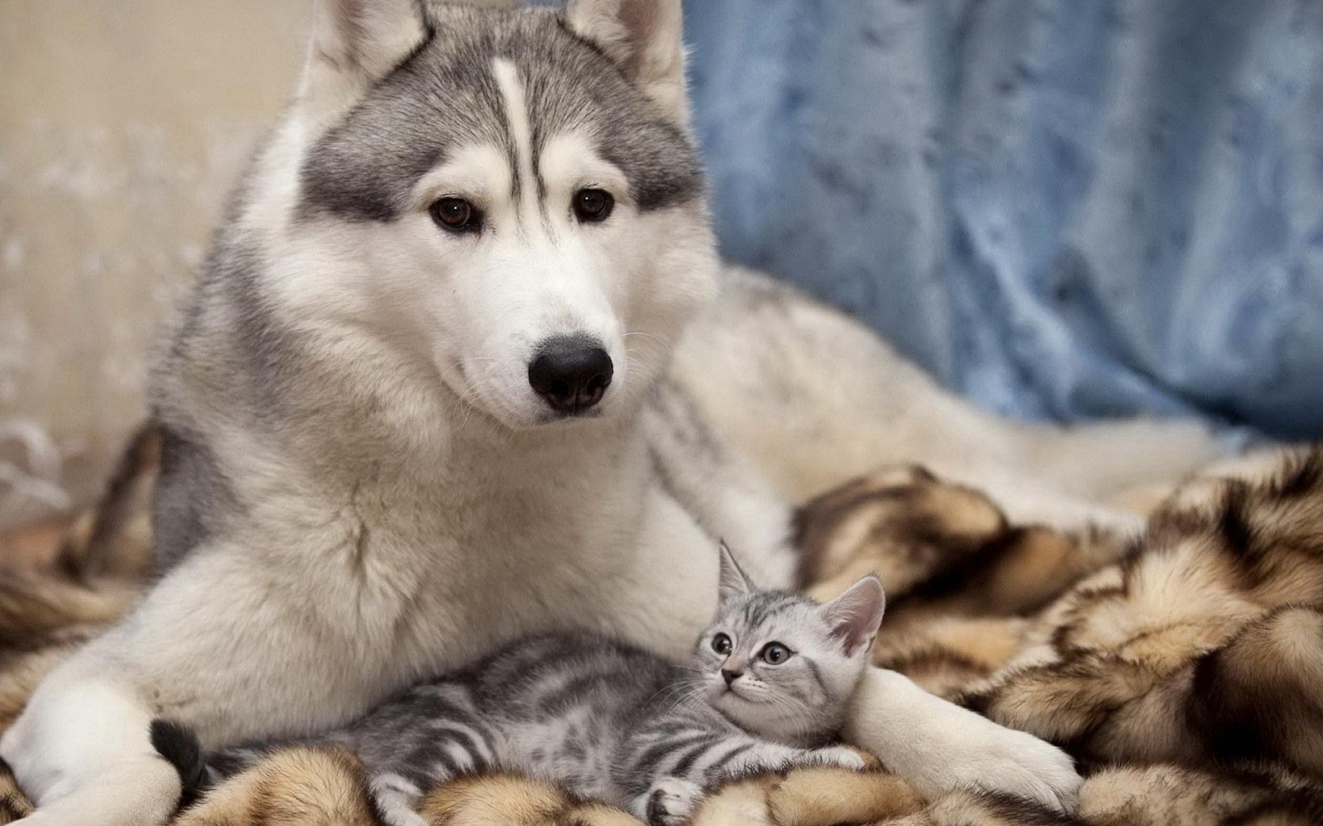 萌宠动物,古灵精怪,哈士奇,猫咪,毛毯