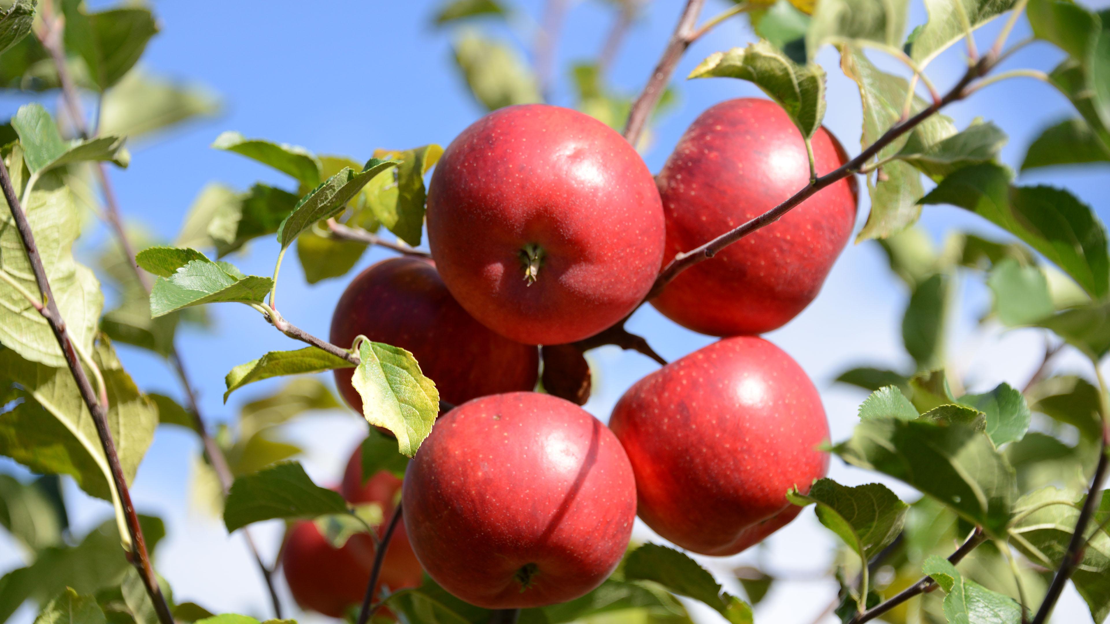 小清新,动感水果,苹果,苹果树,红苹果