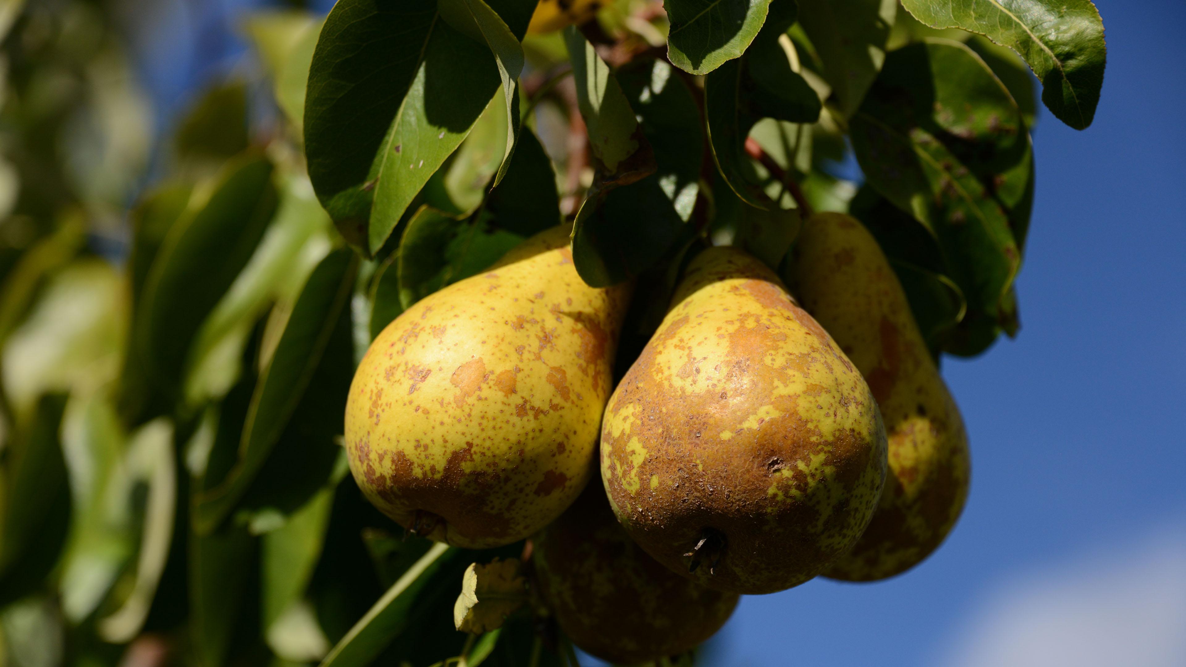 小清新,动感水果,梨子,梨树
