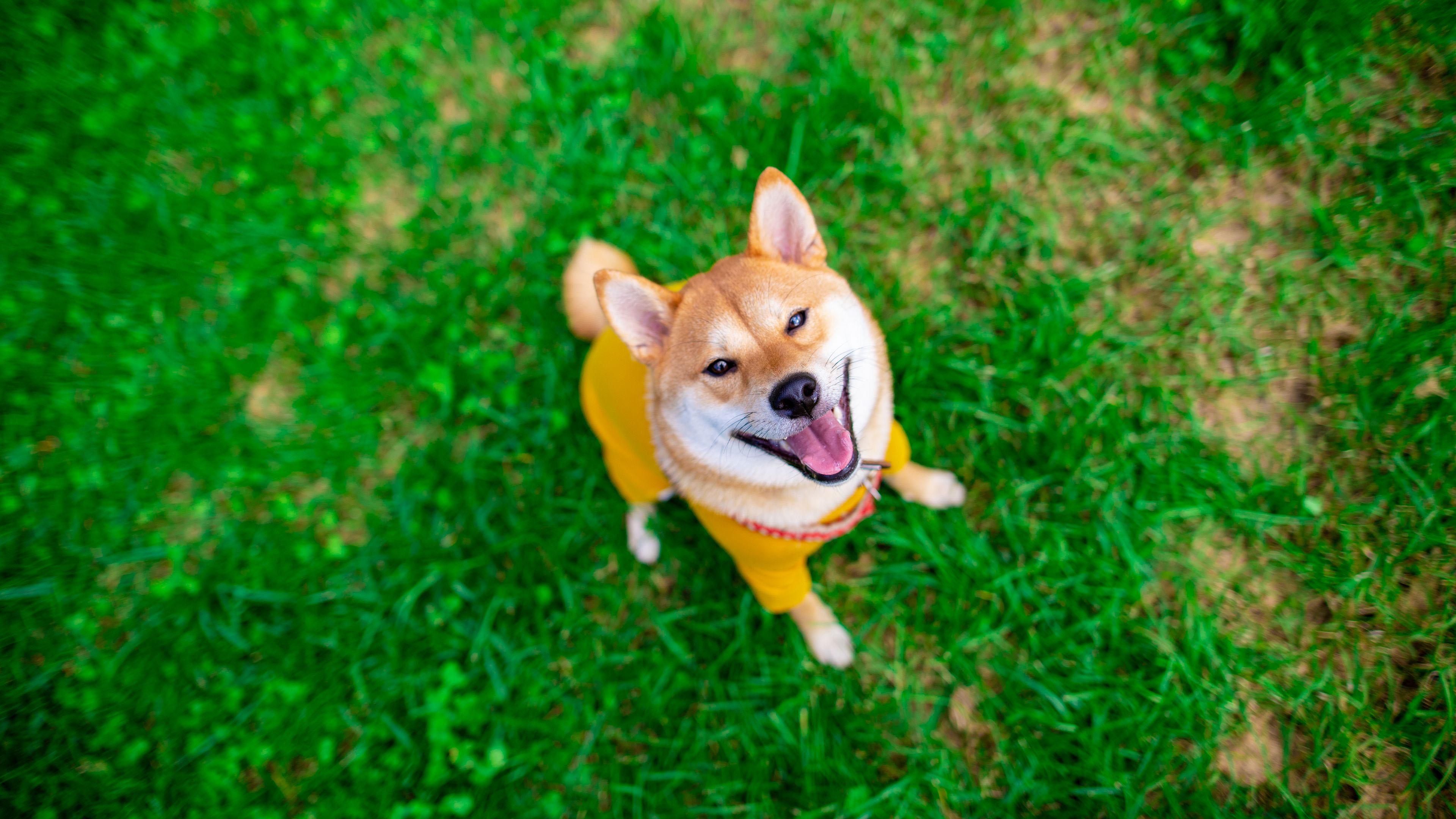 4K专区,柴犬,小狗,小狗,可爱,