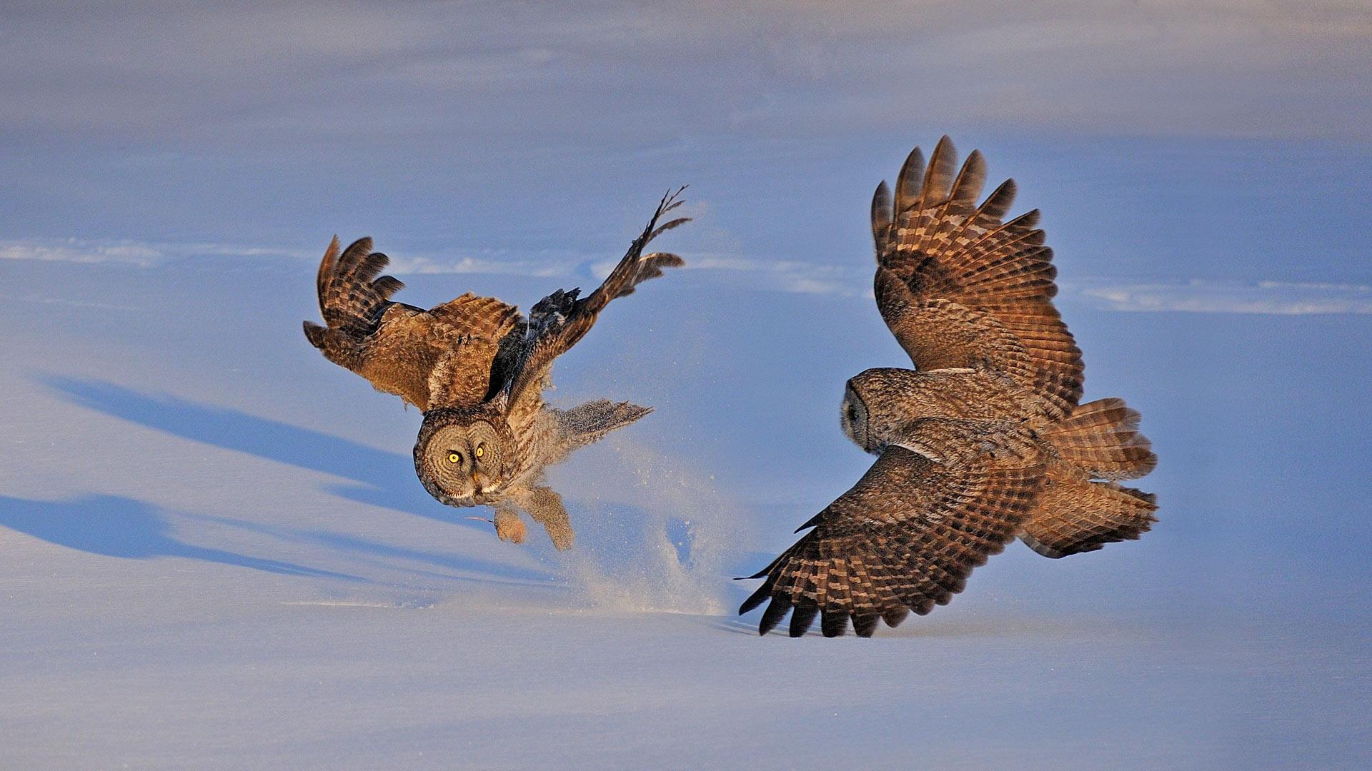 萌宠动物,小鸟天地,猫头鹰,飞翔,捕猎
