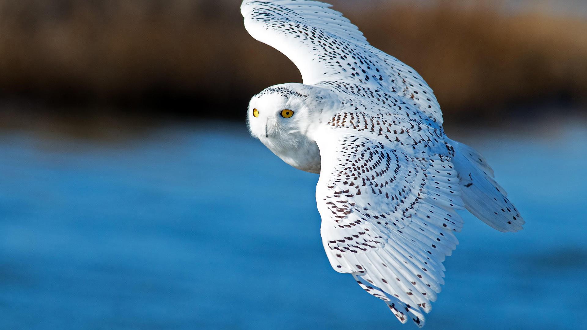 萌宠动物,小鸟天地,猫头鹰,飞翔