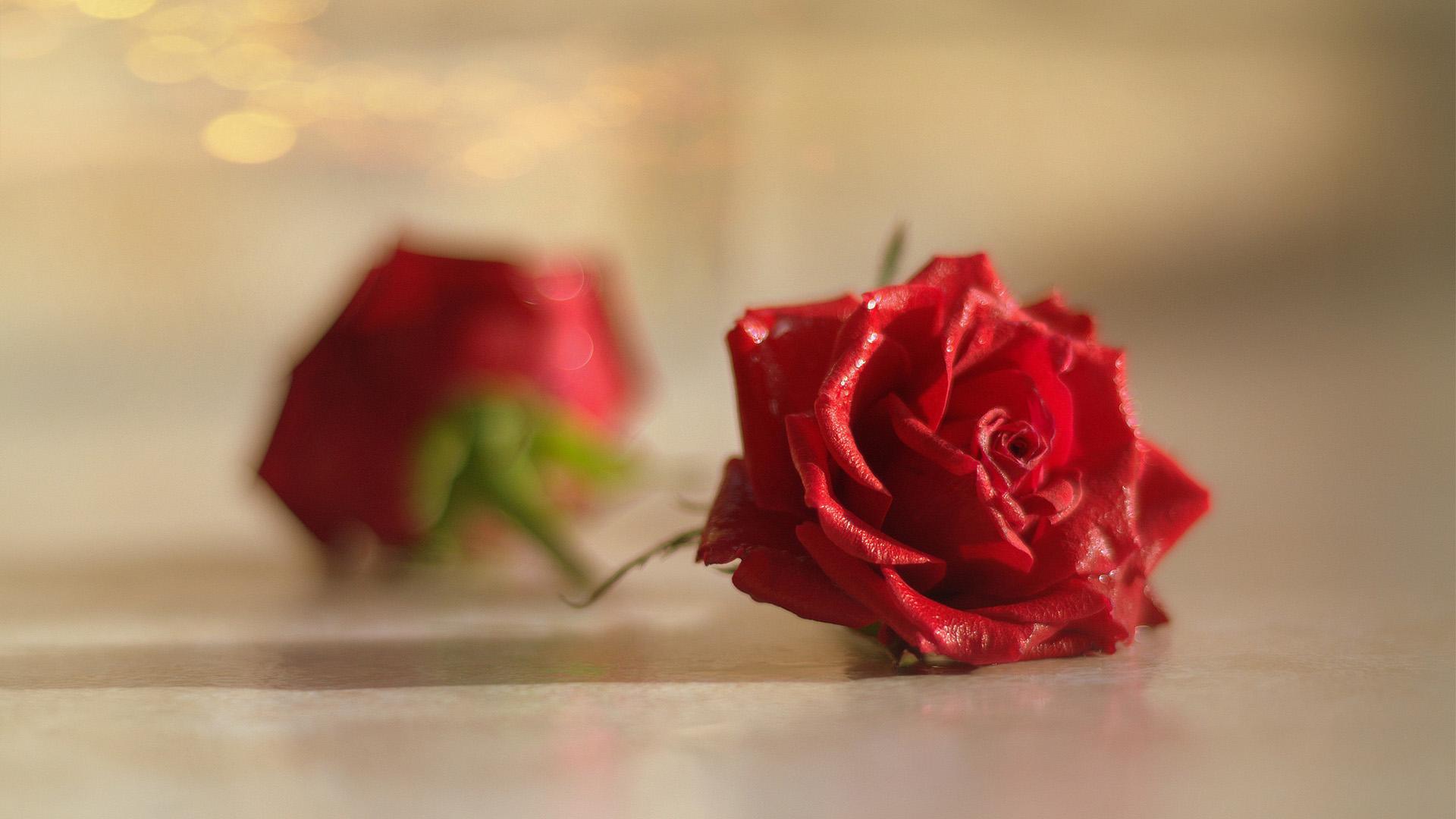 小清新,温馨一刻,玫瑰,鲜花,红花