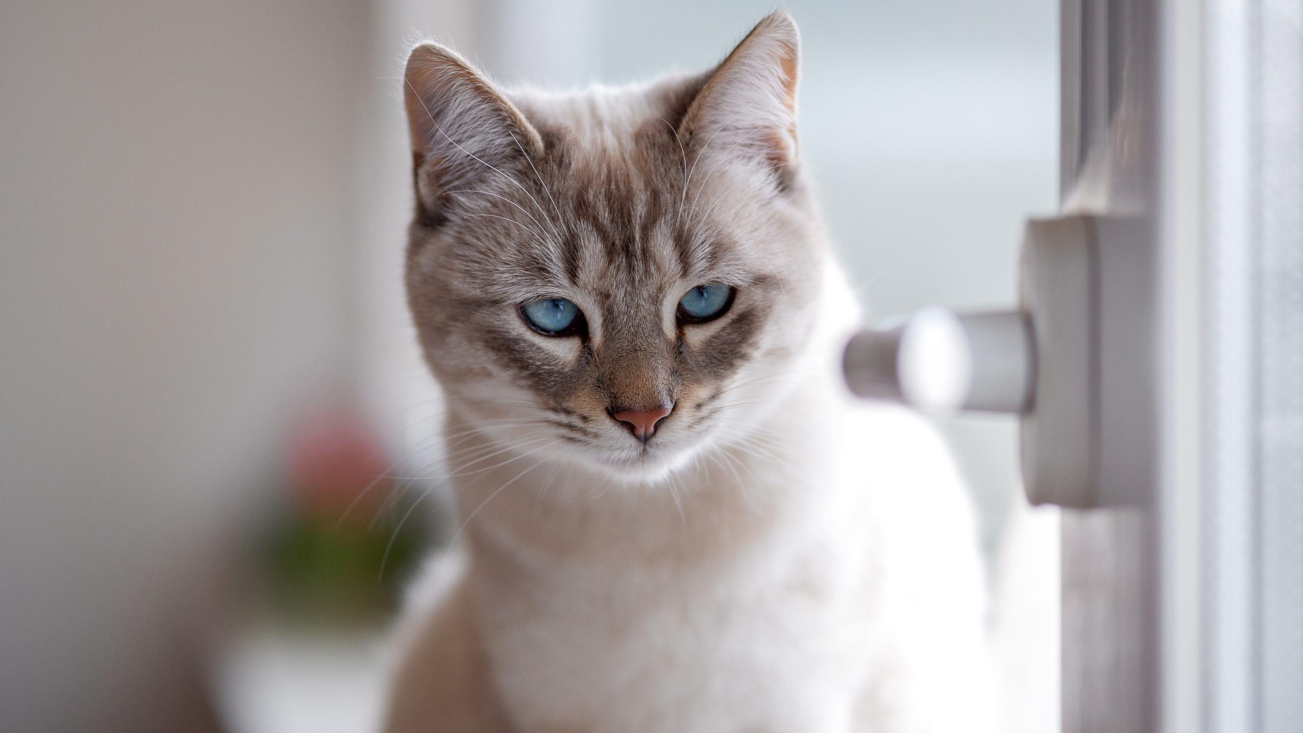 萌宠动物,喵星人,蓝眼,猫咪,窗台,高贵
