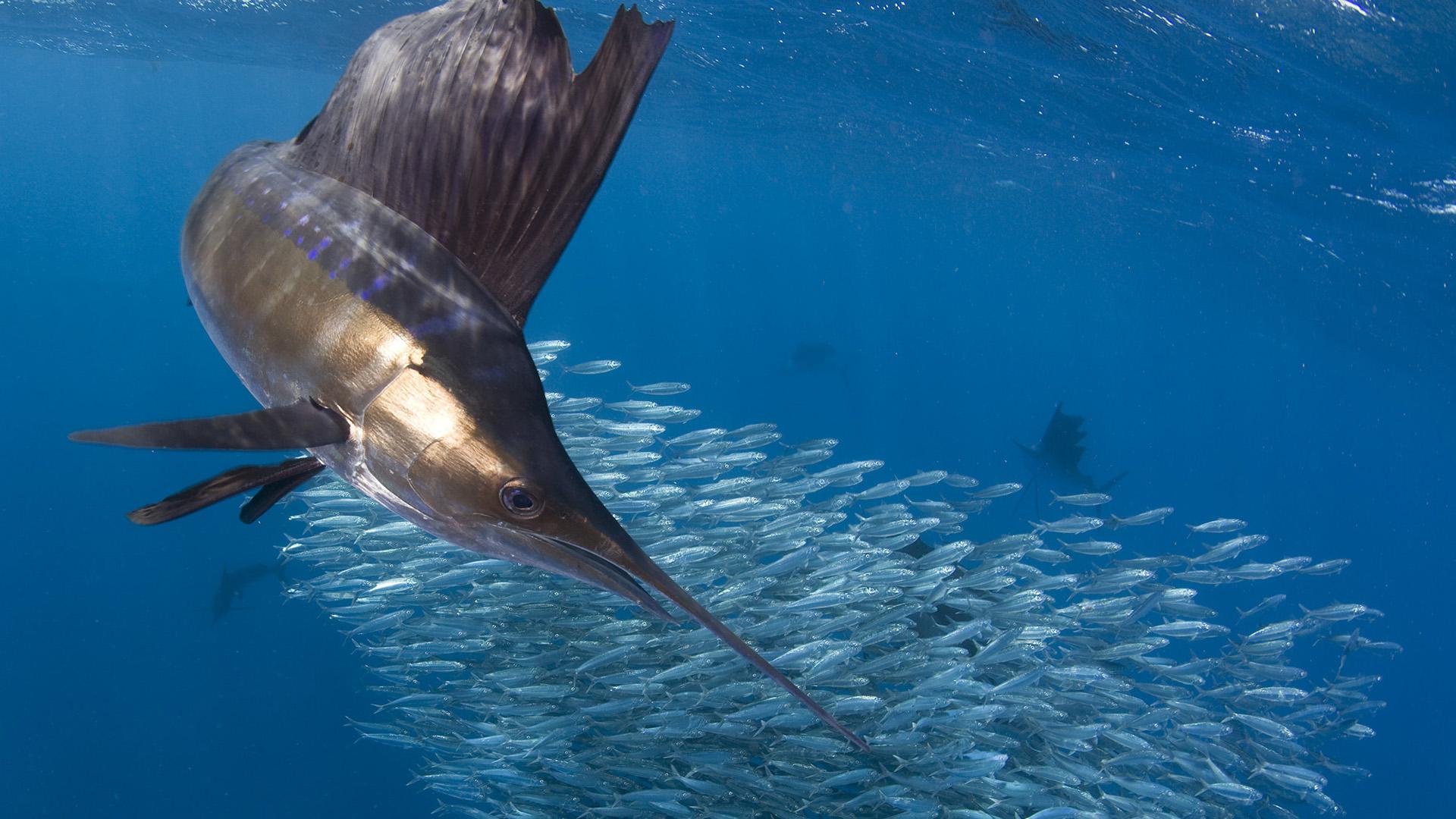 萌宠动物,海底世界,鱼群,深海,剑鱼