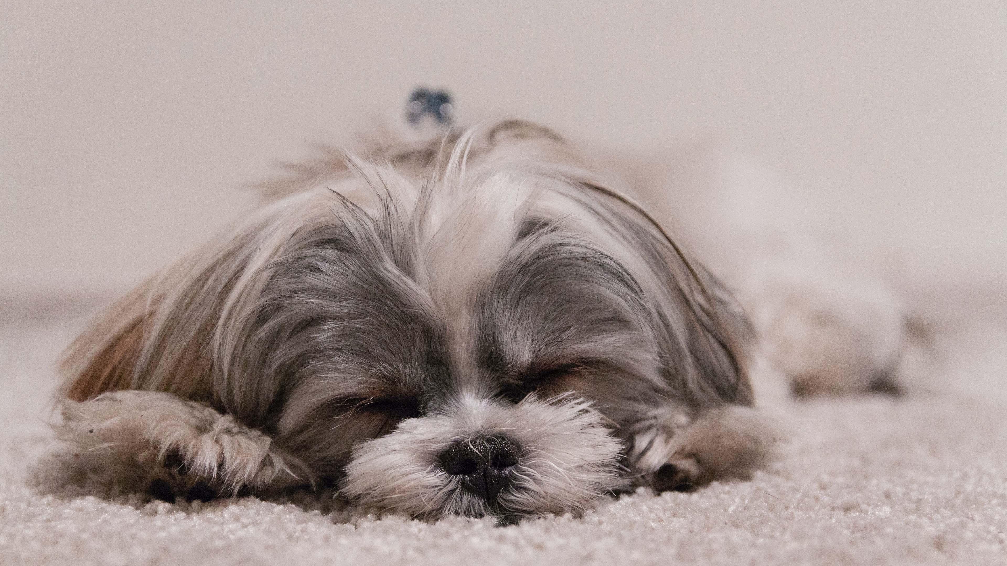 萌宠动物,汪星人,懒狗狗,可爱,睡觉