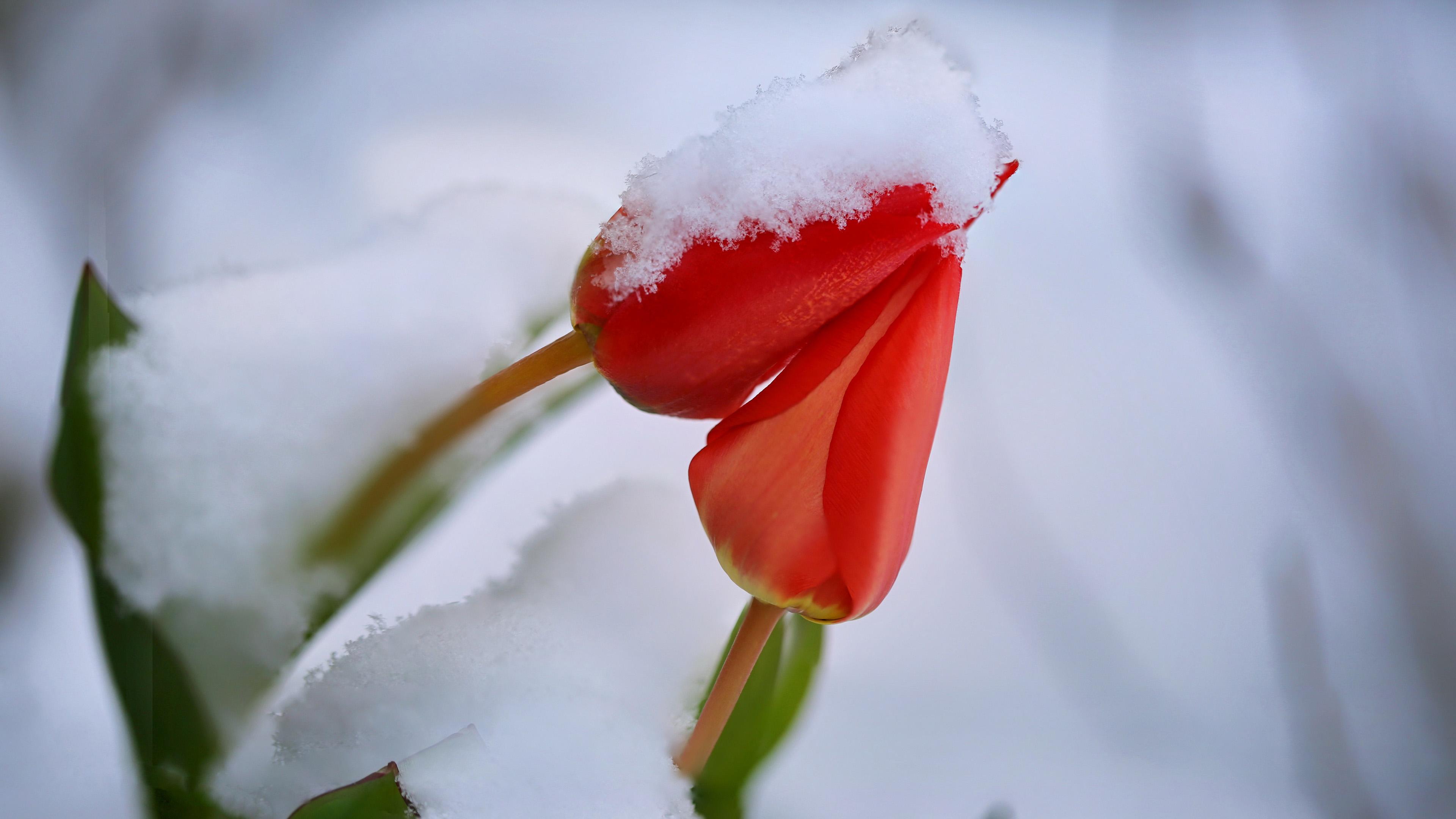 风景大片,娇艳欲滴,郁金香,冰雪,傲雪