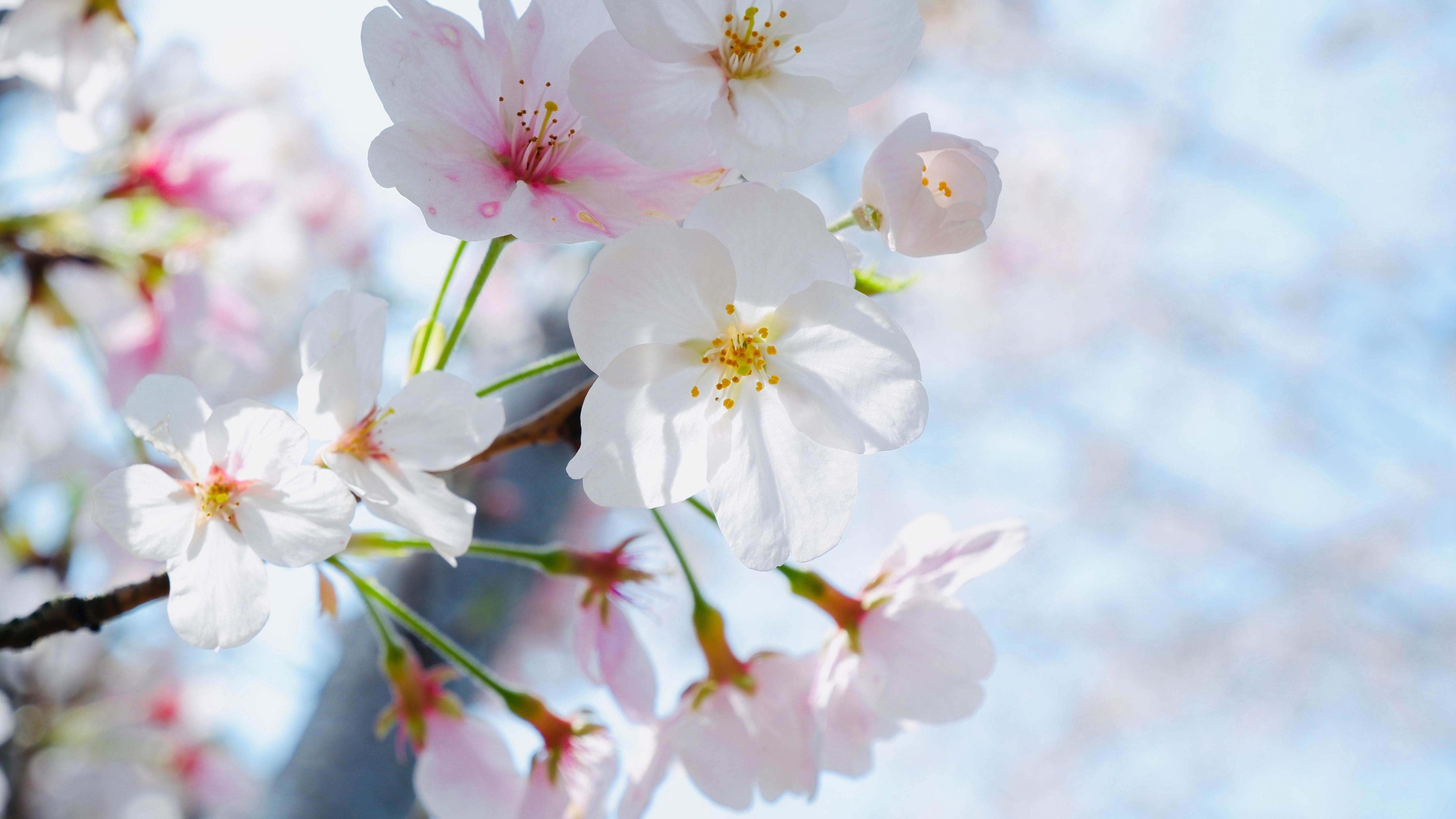 小清新,清新淡雅,,,洁白樱花,,清新,,