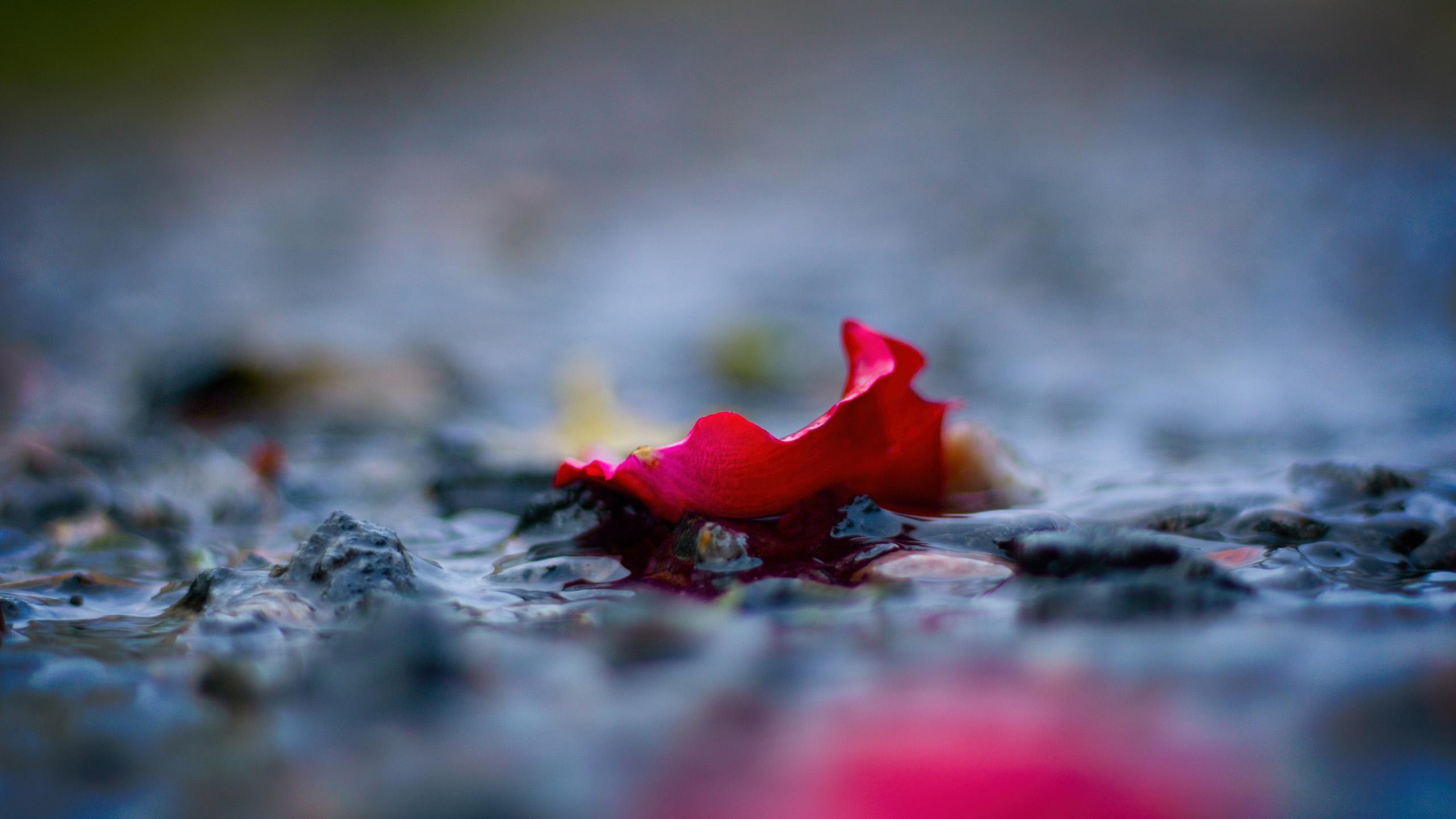 小清新,静物写真,花瓣,玫瑰,落花