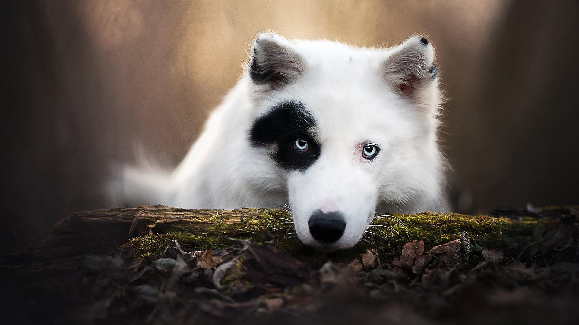 萌宠动物,汪星人,狗狗,大白狗,特写