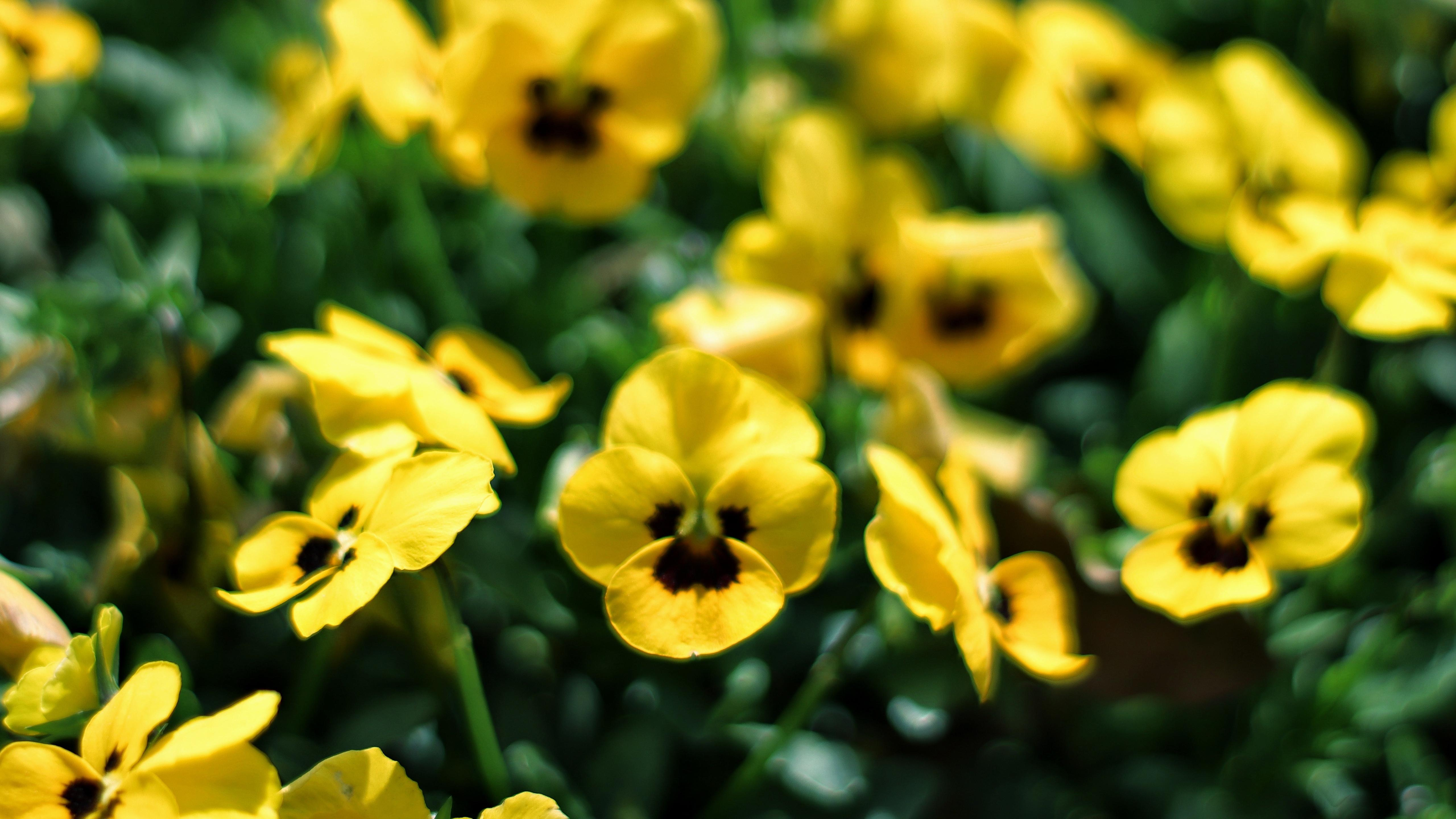 小清新,清新淡雅,,可爱小巧,,角堇,,,黄色