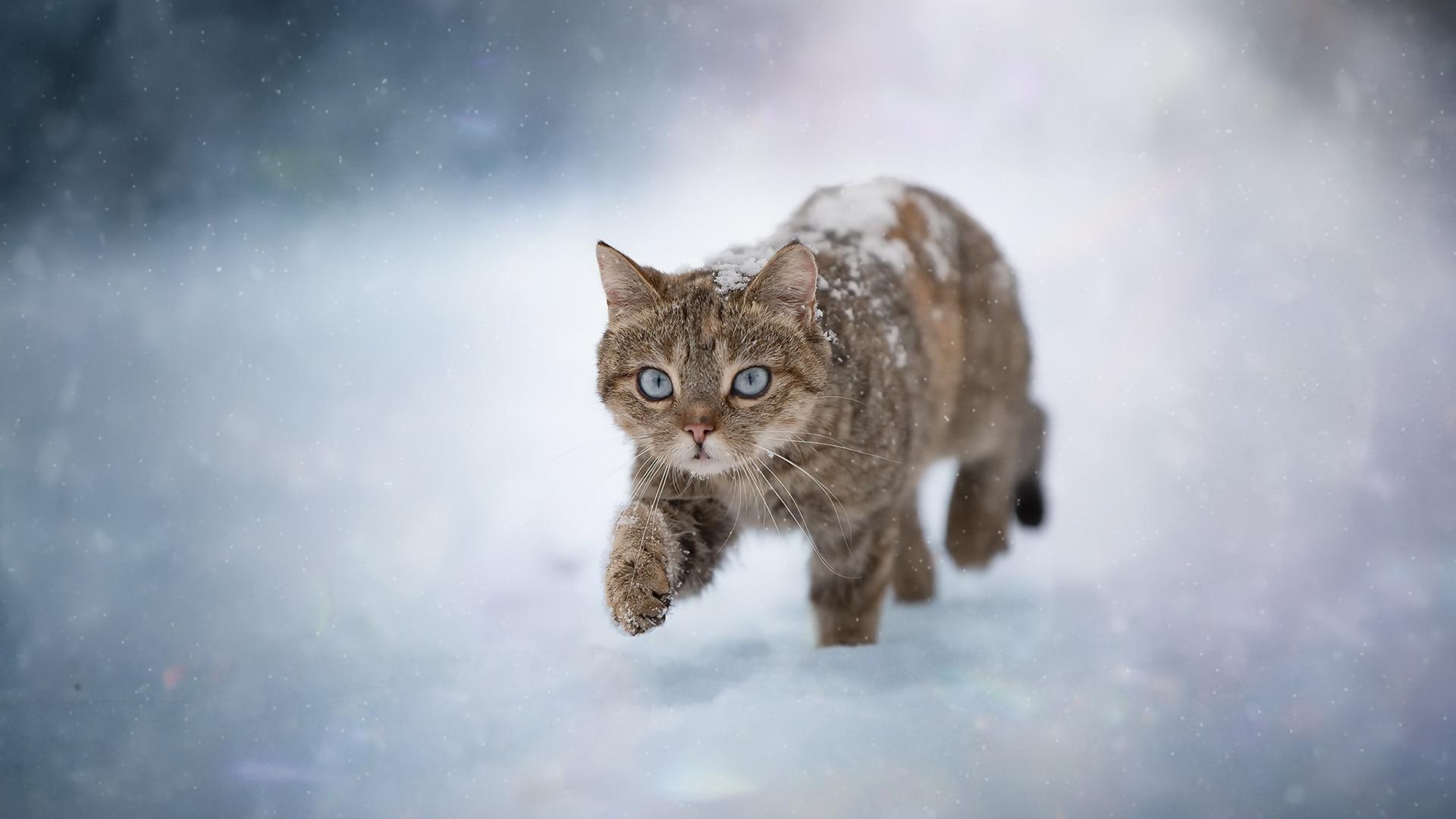 萌宠动物,喵星人,雪地,肥猫,漫步