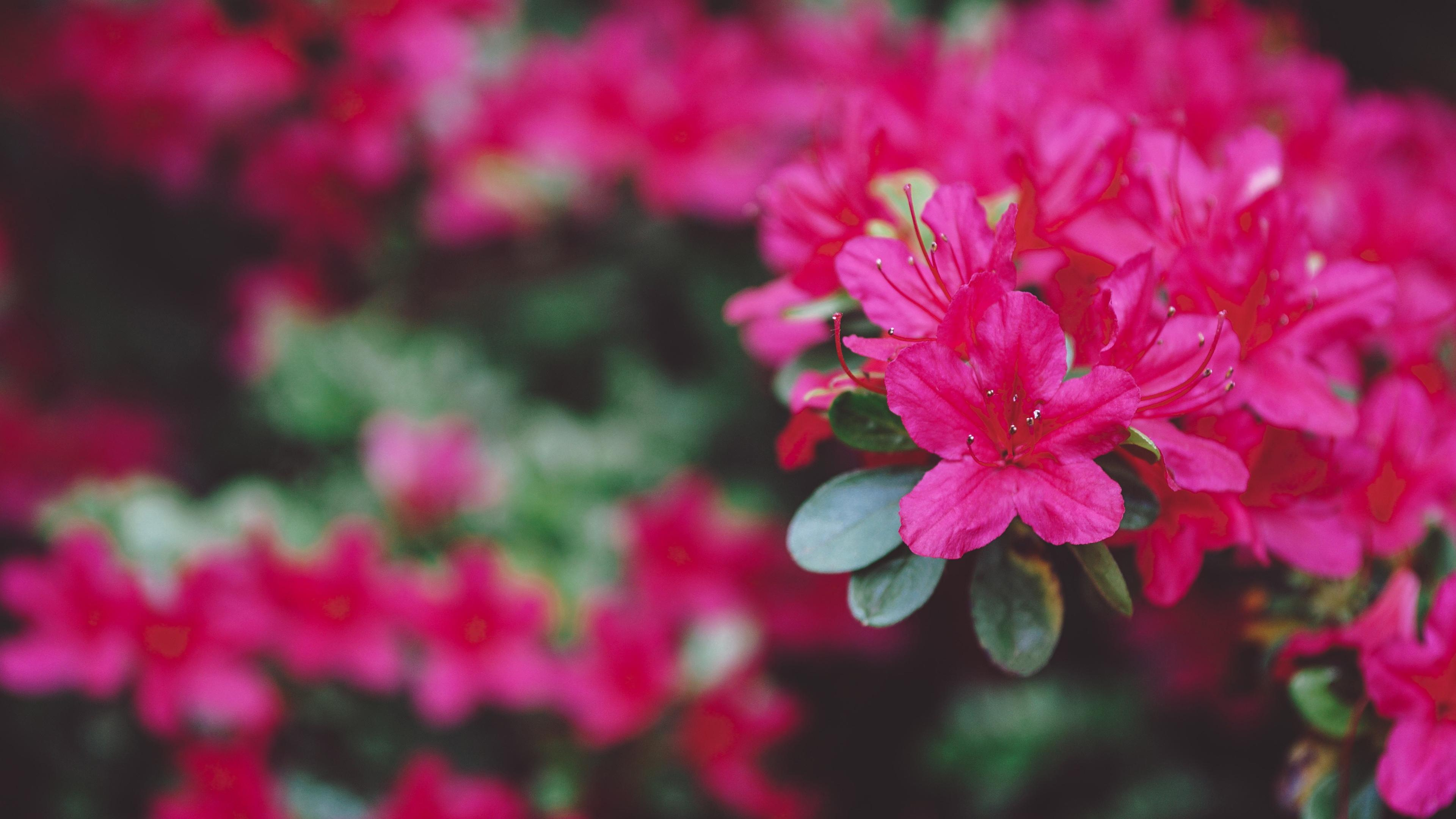 小清新,鸟语花香,,姹紫嫣红,,杜鹃花,,红色