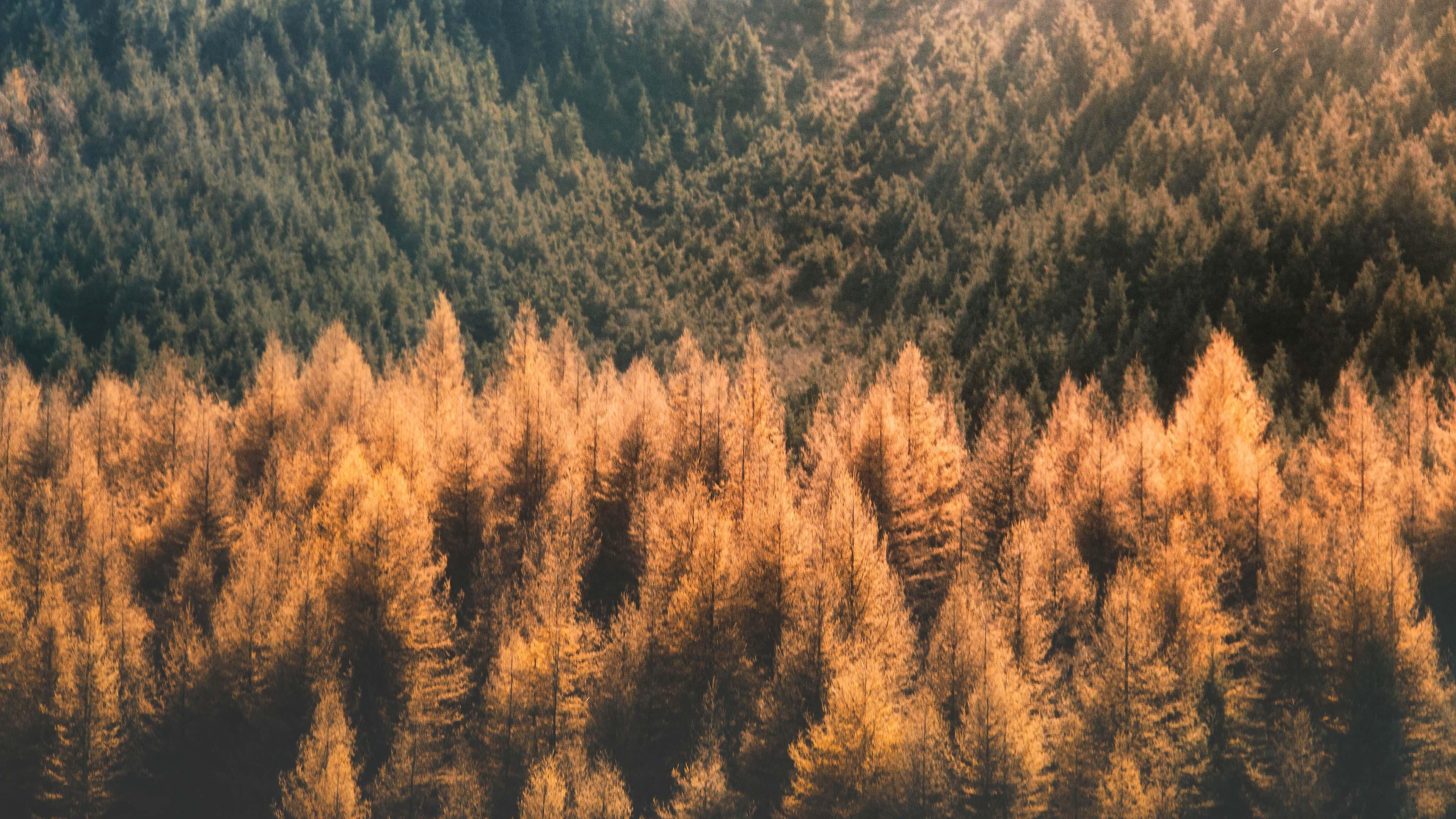 风景大片,秋意正浓,树林,针叶林,森林,林场