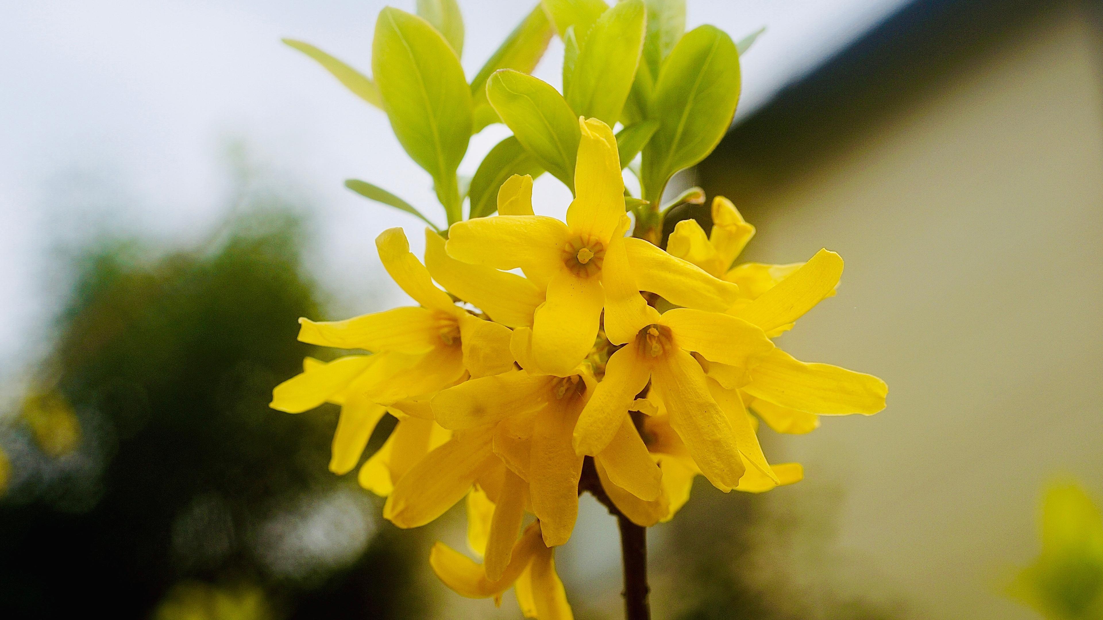 小清新,清新淡雅,,鲜艳,,黄色,,亮眼,,连翘金钟花