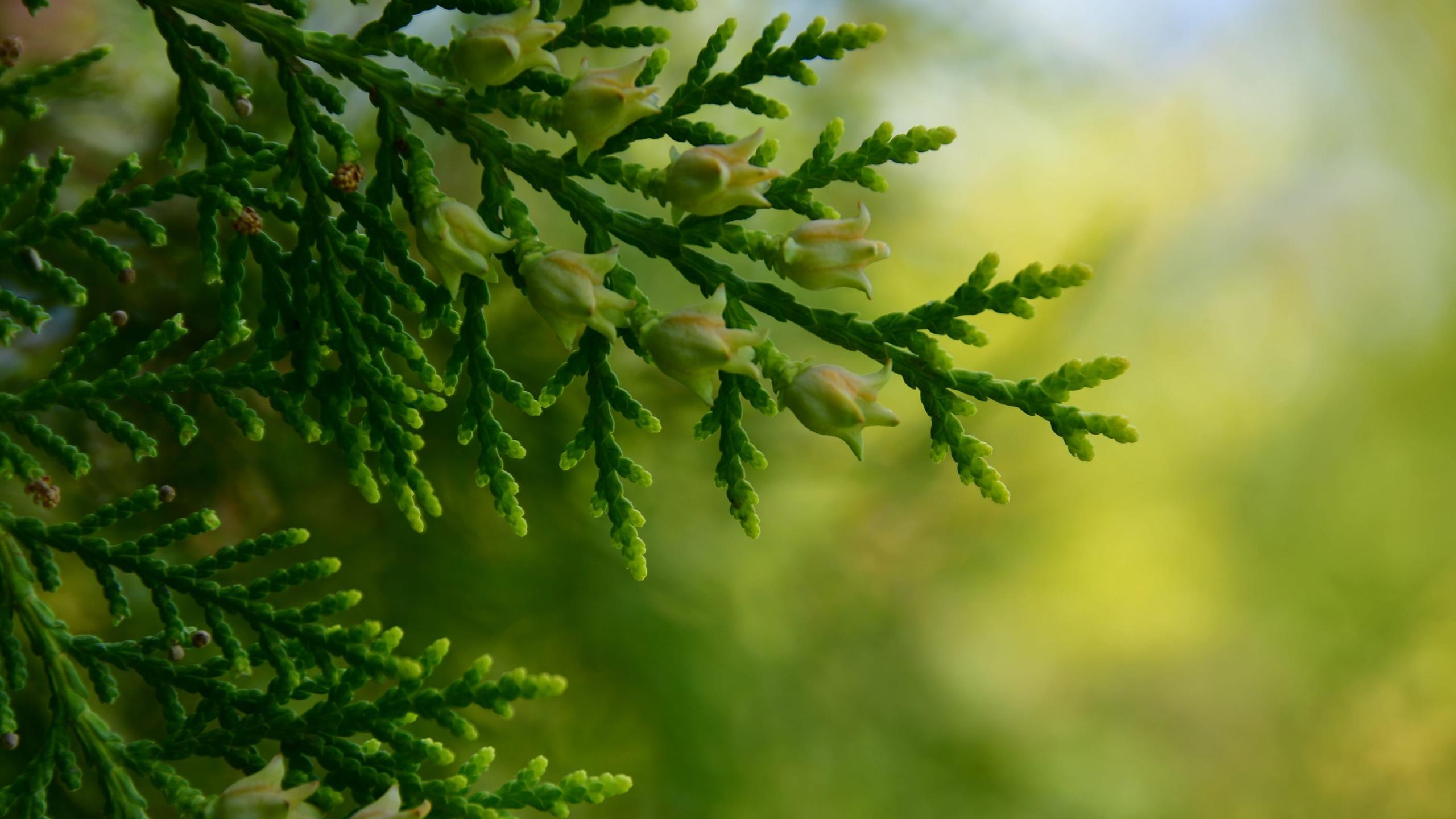 小清新,护眼壁纸,绿色,柏树,树枝