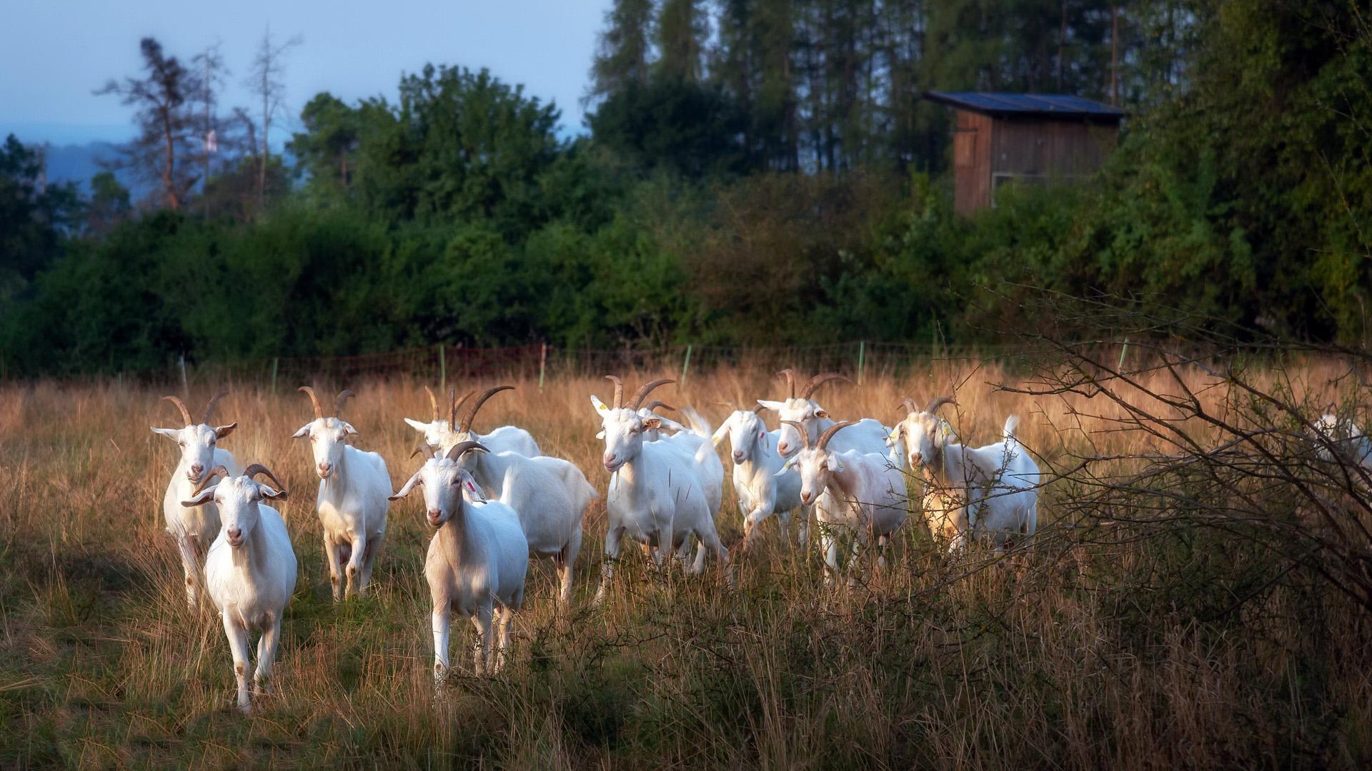 萌宠动物,野生动物,山羊,羊群