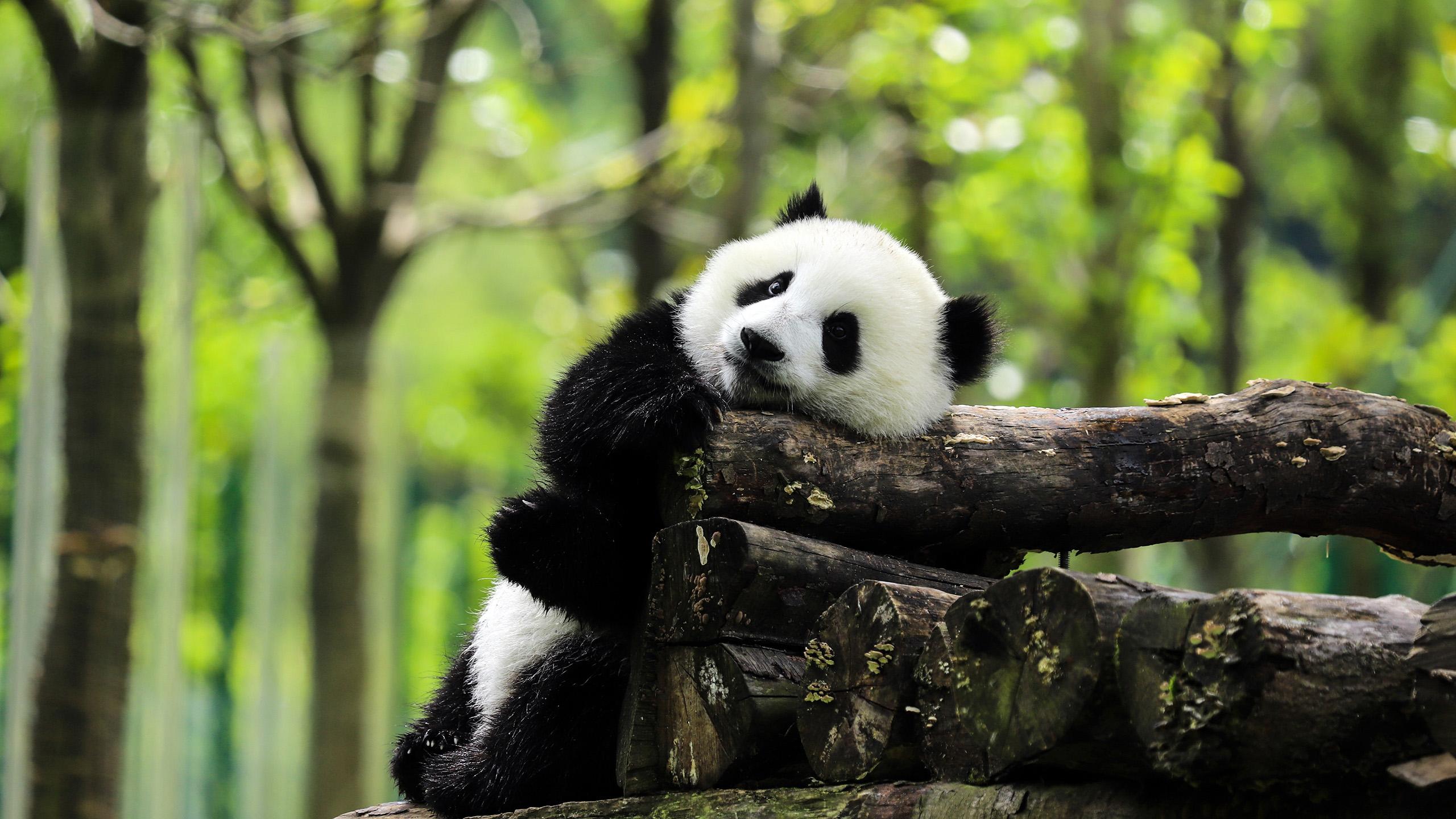 萌宠动物,野生动物,熊猫,树林