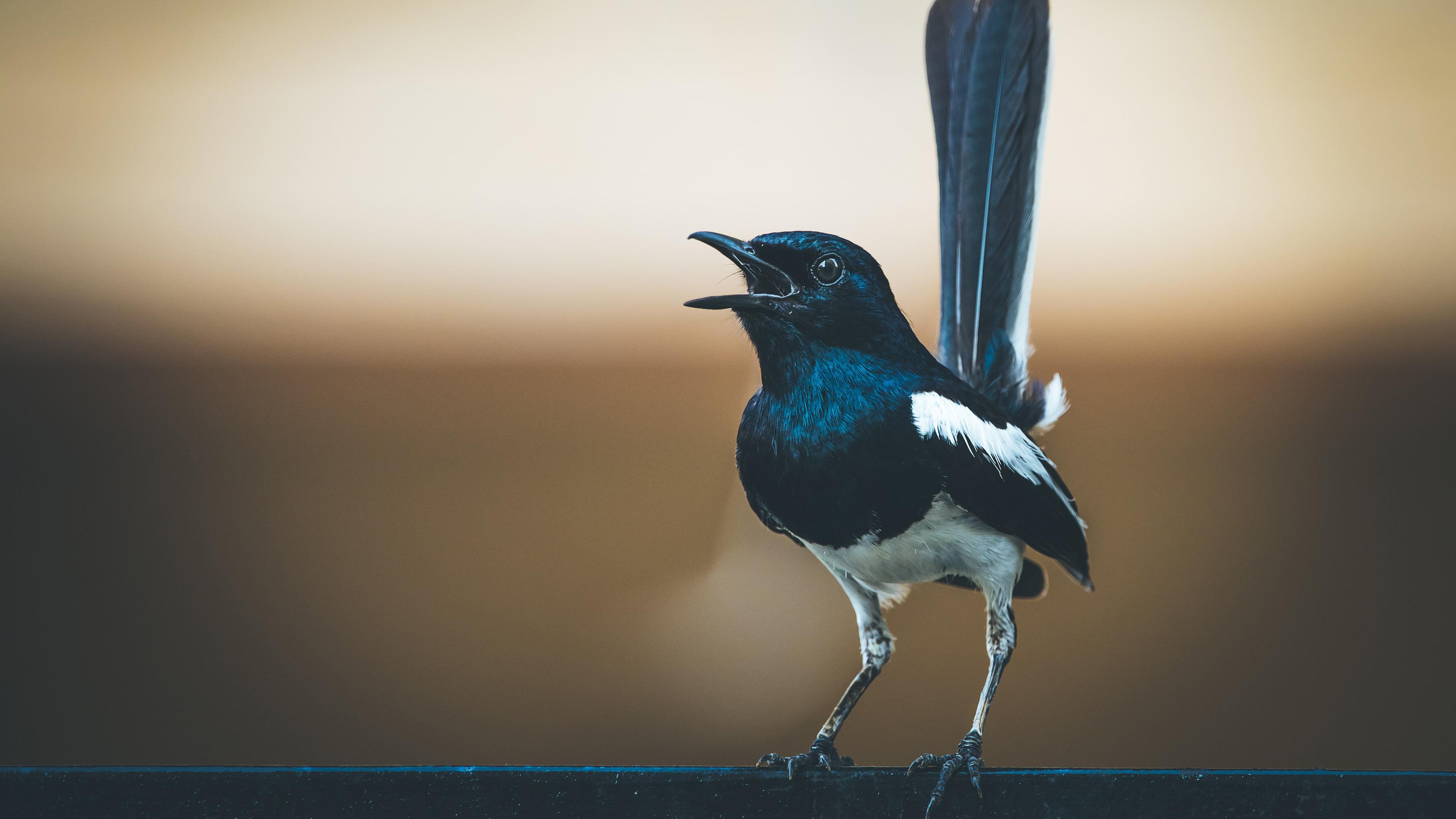 萌宠动物,小鸟天地,蛇尾雀,特写