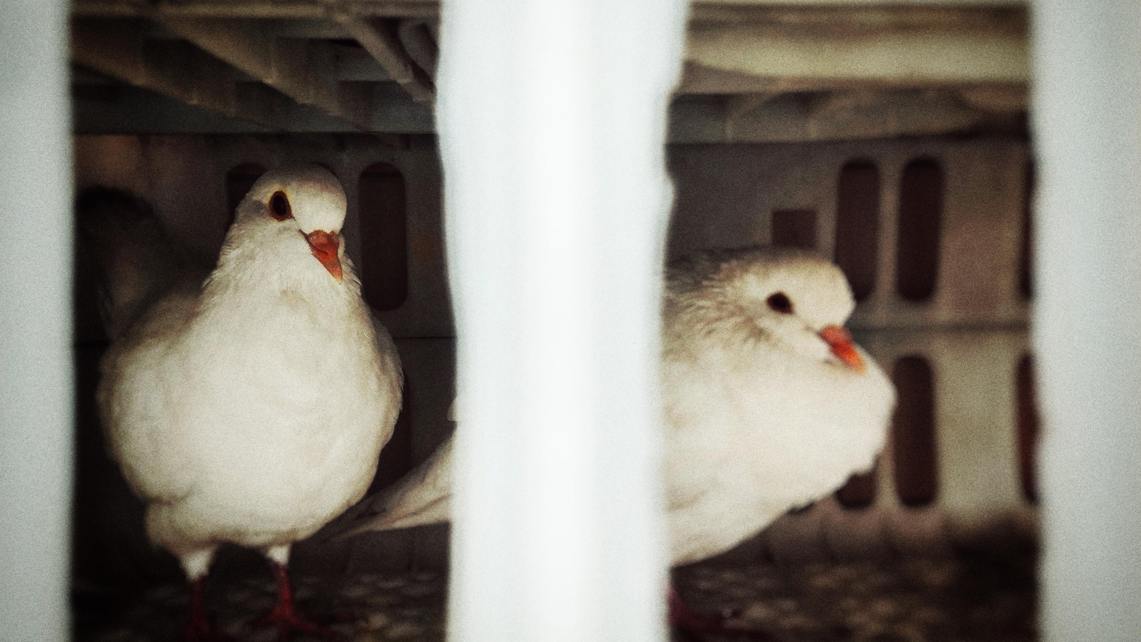 萌宠动物,小鸟天地,鸽子,笼子,白鸽